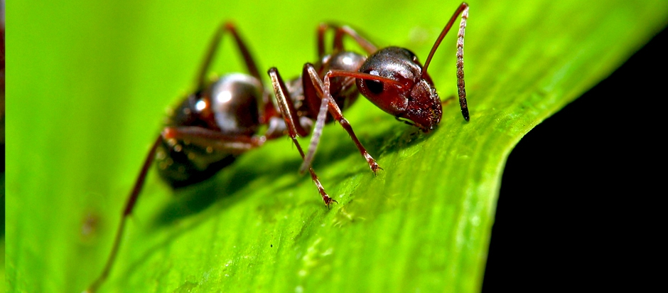 Formic acid and Ants